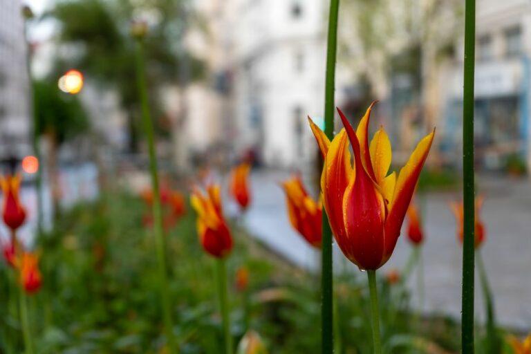 Tulpen am Ruth-Klüger-Platz in Wien-Neubau